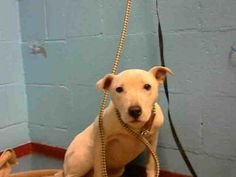 ***SUPER URGENT! 01/2018 ALLIE a Labrador Retriever for adoption in Atlanta, GA who needs a loving home. Size Small 25 lbs (11 kg) or less Sex Female Pet ID 12518859-A851250 My Info Purebred