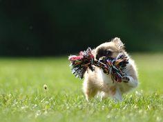 Chihuahuas sind Schoßhunde? Wohl ein Gerücht! — Bild: Shutterstock / Stanislav Duben    www.einfachtierisch.de