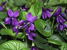 Viola odorata 'The Czar'