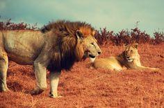 A beautiful Lion & Lioness. Ngorongoro Safari, Tanzania