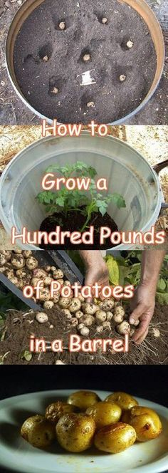 Grow 100 Pounds Of Potatos In A Barrell How to grow 100 pounds of Potatos in a Barrell is a great and frugal idea if your not wanting to rip up your garden for a vegetable patch. I didn't believe you could grow so many Potatos in such a small area but I was wrong…