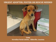 URGENT! WILL DIE 6/23/14! Cindy is a female Chi Mix and is 8 months old! http://www.youcaring.com/nonprofits/cindy-chi-mix-061814/192855 This baby is in a kill shelter in Abbeville, LA which doesn't allow public adoptions. Pets must be pulled by an approved rescue or can be adopted through AAVA.  TO ADOPT - fill out an application at http://animalaidvermilionarea.com/adoptions.php…