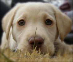 The eyes have it! Adorable yellow labrador puppy... who could resist this face?