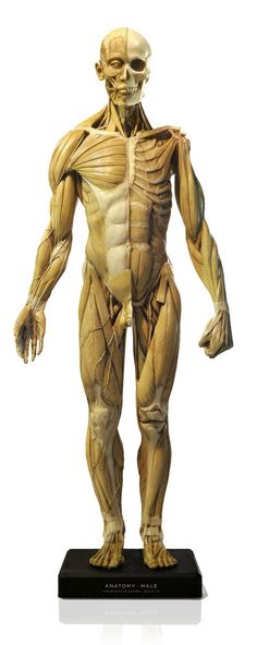 """Male figure: General use v1A   2012 model. Medically accurate and incredibly detailed. Deep & superficial anatomical dissection model. Hand painted in antique palette to highlight anatomical features, removable head & removable arms. Internal 360° turntable. aprox.23x10x5"""""""
