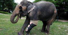 O elefante chamado Motola testa uma prótese de pata para conseguir voltar a andar sem dificuldades na Fundação Asiática para Elefantes em Lampang, na Tailândia. O animal perdeu parte do corpo ao pisar em uma mina terrestre