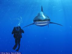 An Oceanic White Tip shark bears down on marine biologist Wes Pratt in the Bahamas.