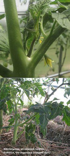 Как вырастить китайскую капусту на даче