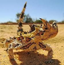 The thorny dragon or thorny devil (Moloch horridus) is an Australian Lizard, also known as the mountain devil, the thorny lizard, or the moloch.