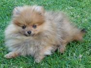 Anjula Pomeranians - puppy