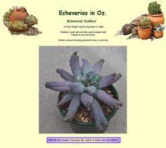 Echeveria Culibra