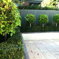 Standard Ficus are a superior topiary plant, and add class and interest to modern and formal gardens. Also suitable to grow in pots. Hedging Plants, Topiary Plants, Topiary Trees, Garden Hedges, Garden Trees, Small Front Gardens, Back Gardens, Outdoor Landscaping, Front Yard Landscaping