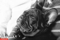 'Smoosh Face! French Bulldog.