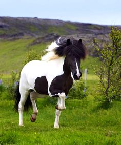 The icelandic horse and nature