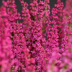 Coloratissima, l'Erica è la pianta perfetta per rallegrare balconi e davanzali nella stagione più fredda #piante #giardino #inverno #winter #garden #pink #flowers