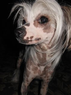 Chinese Crested ..