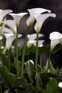Calla Lillies Apparently these are lillies too! I like the other ones better...wonder what you might get the next time....