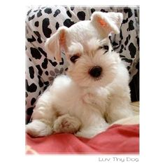 Little White Schnauzer Puppy I wonder if I could sneak another one home :)