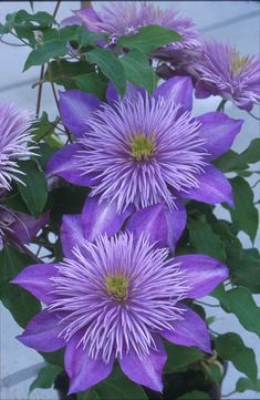 Clematis Crystal Fountain - flower, violet, purple, lavender, nature, photography
