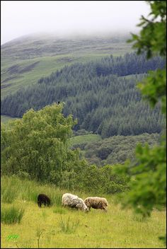 Maybe I can convince Lane to move to Scotland and run sheep there! A girl can dream!! Sheep in Kinlochard, Scotland
