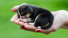 Beagle Puppies: Cute Pictures And Facts
