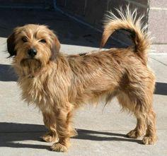 Meet 50571 Moses A Petfinder Adoptable Miniature Pinscher Dog