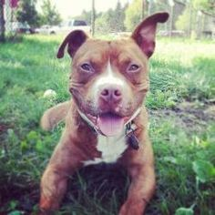 Bono~playful fellow! is an adoptable Staffordshire Bull Terrier Dog in West Bloomfield, MI.  Click HERE to fill out and submit an application online!  Visit http://www.almosthomeanimals.org  **Speci...