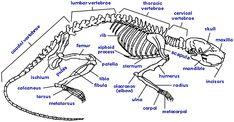 gerbil skeletal structure - Google Search