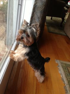 mommy left without me. Time for all my yorkie friends to come over!