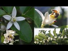 La Floración en El Limonero, Aspectos Agronómicos - YouTube