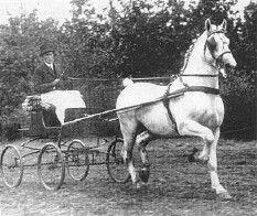 Tello. Dutch Harness Horse
