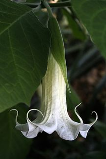 For my moon garden -- Datura Moon Flower is perfect for evening gardens as the big, pure white trumpet-shaped flowers are most fragrant as the sun goes down. It's gorgeous and easy to grow as it thrives in hot, sunny weather. Flower Power, My Flower, Trees To Plant, Plant Leaves, White Flowers, Beautiful Flowers, Night Garden, White Gardens, Dream Garden
