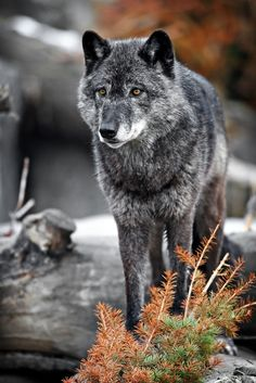 Grey wolves are highly adaptable, and can live in forests, deserts, mountains, and tundra. Their diet consists of mainly deer, caribou, moose, and other large hoofed animals, but wolves will eat whatever comes their way.