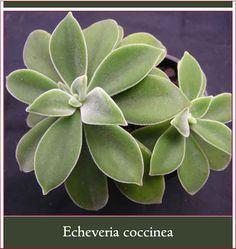 Echeveria coccinea - Main Photo