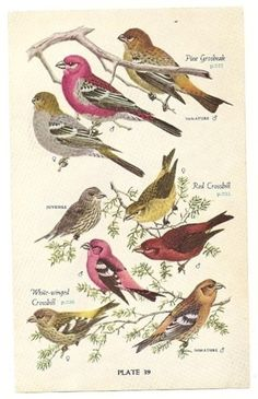 Vintage bird illustration plate