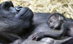 Two Baby Gorillas Born at Bronx Zoo Baby Animals, Funny Animals, Cute Animals, Unique Animals, Primates, In This World, Wild Animals Photography, Sleepy, Baby Gorillas
