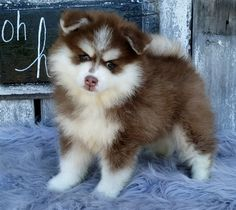 💜🤩These sweet, outgoing, fluffy little #Pomsky puppies will make the perfect companion. These #clever pups are action packed bundles of energy who thrive around attention. #Charming #PinterestPuppies #PuppiesOfPinterest #Puppy #Puppies #Pups #Pup #Funloving #Sweet #PuppyLove #Cute #Cuddly #Adorable #ForTheLoveOfADog #MansBestFriend #Animals #Dog #Pet #Pets #ChildrenFriendly #PuppyandChildren #ChildandPuppy #BuckeyePuppies www.BuckeyePuppies.com