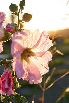 Wildflowers at farm in Napa Valley, California by Trinette Reed - Sunset, Flower - Stocksy United One Thousand Gifts, 1000 Gifts, Stock Imagery, Romantic Cottage, Pink Petals, Hollyhock, Country Farm, Napa Valley, Summer Of Love