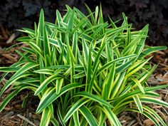 To line the walkways-Liriope Silvery Sunproof - Fast growing sun/shade ground cover. Perfect with Hardy Ferns, Mondo Grass, Hostas, Hydrangeas, Shrubs, KnockOut Roses, Shade Plants