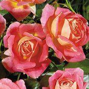 Shazam! Floribunda Rose