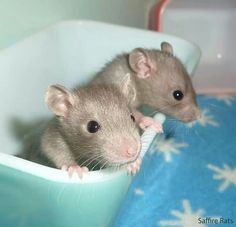 Cute baby rats...makes me my miss my mice!