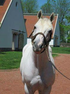 Tapit Horse Fly, Race Horses, Saratoga Horse Racing, Triple Crown Winners, Post Time, Sport Of Kings, Thoroughbred Horse, Horse Photos, White Horses
