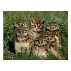 Owls And Kitten Postcard