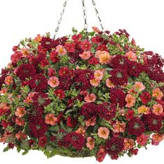 Proven Winners - Glam Bam combination container recipe containing Superbells® Red - Calibrachoa hybrid, Superbells® Tropical Sunrise - Calibrachoa hybrid, . Red Plants, Short Plants, Colorful Plants, Potted Plants, Container Gardening Vegetables, Succulents In Containers, Container Flowers, Container Plants, Vegetable Gardening
