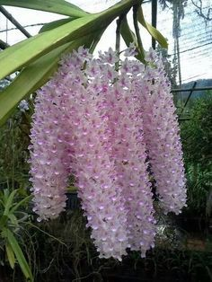 Rhynchostylis - It's a stunning orchid when in bloom, and the very fragrant racemes [Inflorescences] bear spicy flowers.
