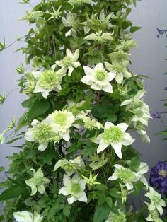 Clematis, florida alba plena. 2-2.5m, will grow in a pot, needs sun. Group 3, long flowering June to October.