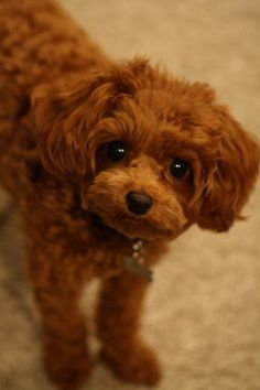 Red Cavapoo - LOVE