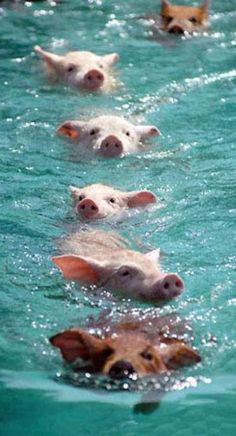 #Pig_Beach in #Bahamas http://en.directrooms.com/hotels/country/9-66/