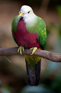 Wompoo Fruit Dove (Ptilinopus magnificus). Native to Australia and New Guinea.