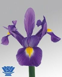 Blue Magic ® (IRIS)    Deep Blue  60-70cm