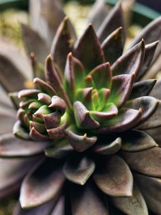 Black Hens and Chicks - Echeveria 'Black Prince' is a slow and low growing succulent plant. It produces clumps of short rosettes up to 3 inches (7.5 cm) wide with thin dark triangular...